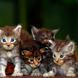 by Cacang Effendi - Animals - Cats Kittens ( cats, cattery, kitten, chandra, #mainecoonphoto, animal )