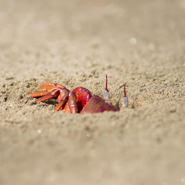 check out me.. i'm the red crab by Indranil Basu - Animals Sea Creatures