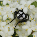 White Spotted Fruit Chafer