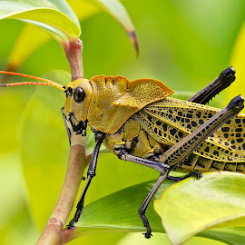 Orthoptera  by Sergio Frada - Animals Insects & Spiders ( orthoptera  macro )