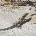 Little Striped Whiptail