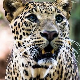 Starring by Dhinesh Rajarathinam - Animals Lions, Tigers & Big Cats ( panthera leo, nature, wildlife, leopard )
