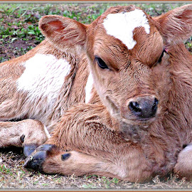 Baby Bull by Cheryl Beaudoin - Animals Other ( calf, male, cow, baby, bull,  )