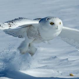 The Grab by Mark Nicholson - Animals Birds ( flying, minnesota, mark nicholson, immature snowy owl, capture, action, snowy owl, in flight,  )