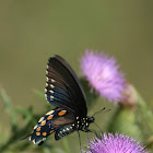 Pipevine or Black Swallowtail?
