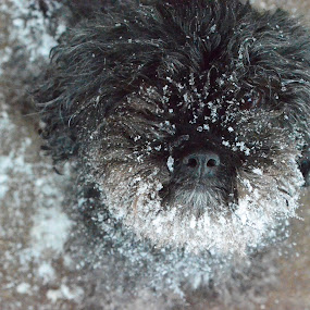 Snout Full of Snow by Selah Madland - Animals - Dogs Portraits ( poodle shitzu, snow, play, wet, dog,  )