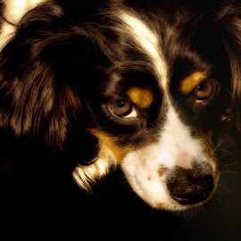 Louie the Cavalier by Tracey Pogson - Animals - Dogs Portraits ( canine, cavalier, resting, cavalier king charles, dog, eyes )