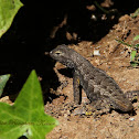 (Severed Tail) Great Basin Fence Lizard