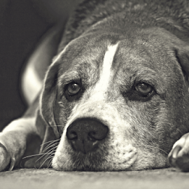 Oscar by Mike Ross - Animals - Dogs Portraits ( mike ross, hound, beagle, dog, black&white )