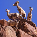 Borrego bighorn sheep