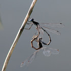 Spreadwing Damselflies (Mating)