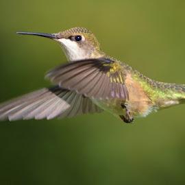 Hummer Beauty! by Barbara T. - Animals Birds ( bird, flight, nature, wings, hummingbird,  )