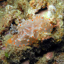 Batangas Nudibranch