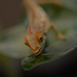 Loo by Kyra Sturdy - Animals Reptiles ( water, loo, drinking, beautiful, reptile, chameleon, colours )