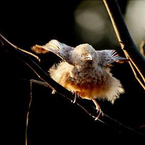 Yellow Billed Babbler.. by Nithya Purushothaman - Animals Birds