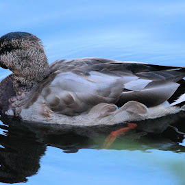 Todays Best  38 by Terry Saxby - Animals Birds ( bird, canada, terry, columbia, british, duck, victoria, saxby, nancy )
