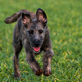 by Paul Scullion - Animals - Dogs Running ( field, playing, puppies, puppy, fun, dog, young, running, lurcher )
