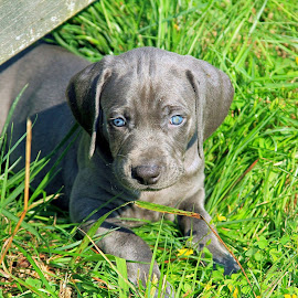 another puppy.... by Michael Hardy - Animals - Dogs Puppies