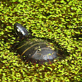 Confetti turtle by Amy McCarty - Animals Amphibians ( leaves, pond, turtle, swimming turtle )