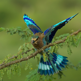 Landing Blue by Jineesh Mallishery - Animals Birds