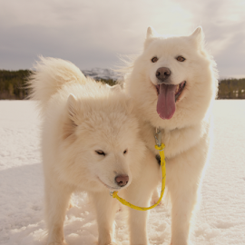 time out at job...  by Kristin Smestad - Animals - Dogs Portraits ( polardog, hund, white dog, trekkhund, dog, samojed )