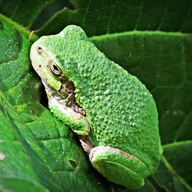 Tree Frog by Cindy Cooper Houser - Animals Amphibians ( wild, animals, nature, frog, green, tree frog, amphibian, nature up close, nature close up, animal, renewal, trees, forests, natural, scenic, relaxing, meditation, the mood factory, mood, emotions, jade, revive, inspirational, earthly )