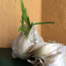 Longing To Reproduce by Jane Jenkins - Food & Drink Ingredients ( ingredients, garlic, garlic bulbs, still life, vegetable )