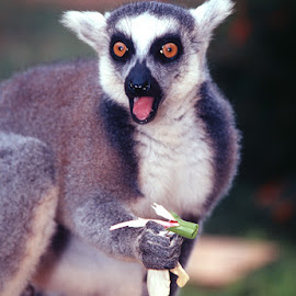 Ringtail Lemur by David Northcott - Animals Other Mammals ( ring-tail, feeding, surprise. gape, lemur )