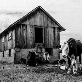 Belle by Marcus Roes - Animals Other Mammals ( farm, barn, black and white, cow, animal,  )