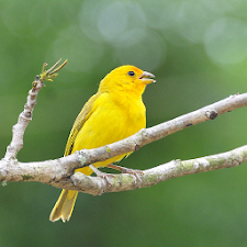 Singing canary to educate