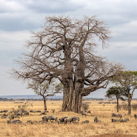 wildebeest in the wild by Vibeke Friis - Landscapes Prairies, Meadows & Fields ( wildebeest, baobab tree,  )