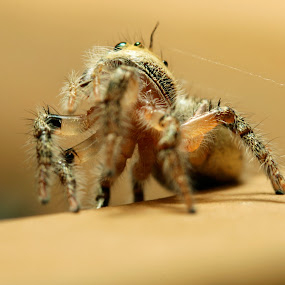 The Spider by Azman Saad - Animals Insects & Spiders ( canon, macro, macro photograhy, spider, close up,  )