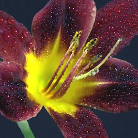 Dark Red Daylily by Steve Edwards - Flowers Single Flower ( single flower, daylily, red daylily, flowers, flower,  )