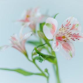 Astromenia by Eva Krejci - Flowers Flower Gardens ( soft background, water drops, pink.white.asromenia., flowers )