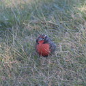 White-browed blackbird; pecho colorado