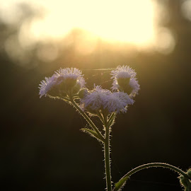 the morning rays by Parag Sharma - Nature Up Close Other plants ( nature, plants, sunrise, morning, photo )