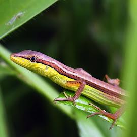 Takydromus sexlineatus by Dedi Sukardi - Animals Reptiles ( macro, lizard, reptile, animal )