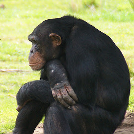 Chimpanse  by Ad Spruijt - Animals Other