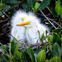 Great Egret nestlings