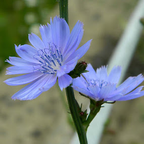 Summers Beauties by Darcie Wright - Flowers Flowers in the Wild ( chicory flowers periwinkle color plant nature )
