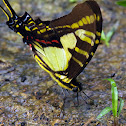 Orange Kite-Swallowtail