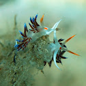 tricolor nudibranch