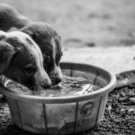 Thirst by Phanindhra Addepalli - Animals - Dogs Portraits