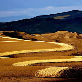 Curves by Gaylord Mink - Landscapes Prairies, Meadows & Fields ( wheat, hills, sage brush, firebreak,  )