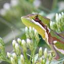 Eastern Casquehead Iguana
