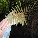 helecho macho;fieito macho;Male Fern