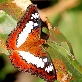 butterfly by Niraj Jha - Animals Insects & Spiders