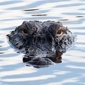 Alligator by Cathie Crow - Animals Reptiles ( wild animal, predator, alligator, wildlife, reptile, gator, animal )