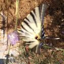 Scarce Swallowtail or Erik kırlangıçkuyruğu