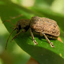 small brown chrysomelid beetle